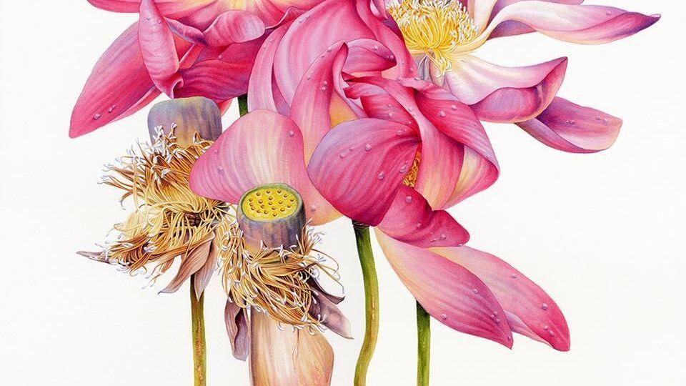 heidi willis_botanical artist_sacred lotus_painting
