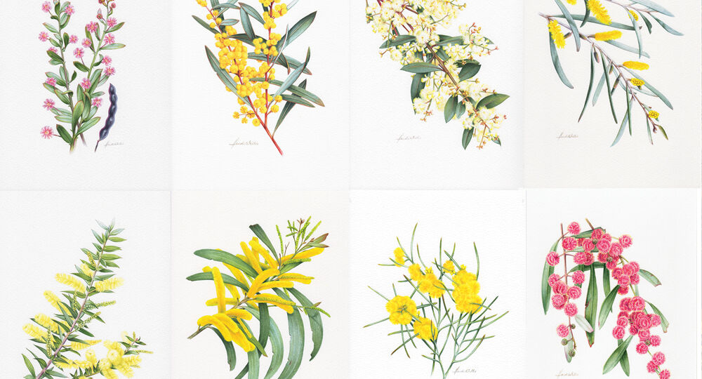 heidi willis_botanical artist_australian geographic_acacia