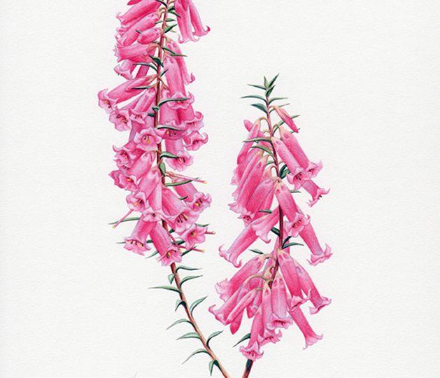 Heidi-WIllis_Heath_Epacris-impressa_Australian-Geographic_Magazine-Illustration_Botanical-Art