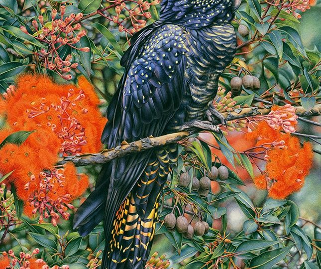 heidi willis_bird artist_watercolour_black cockatoo_gum blossom