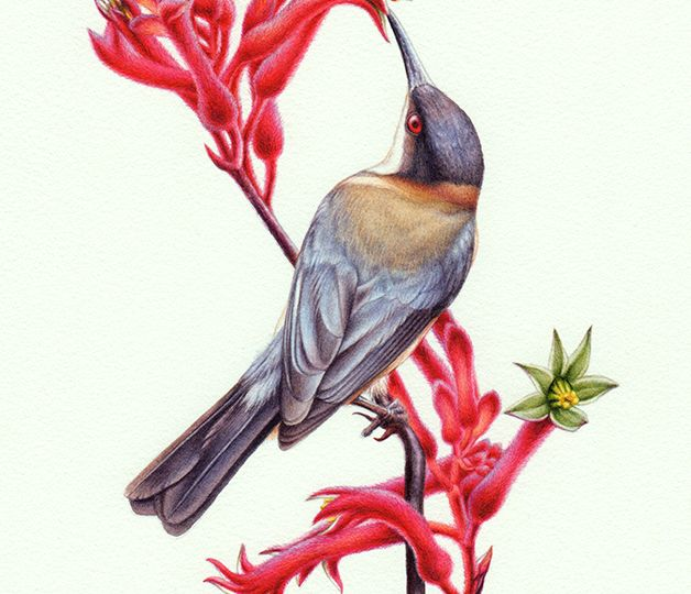 artist_heidi-willis_eastern-spinebill_bird-painting_kangaroo-paw-painting_watercolour