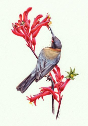 Kangaroo Paw and Eastern Spinebill Painting