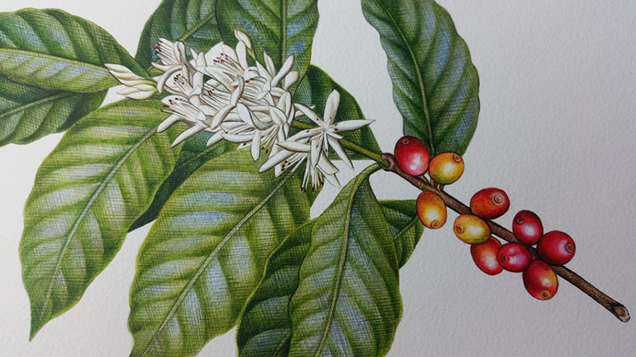 Coffee Botanical Illustration_Heidi Willis