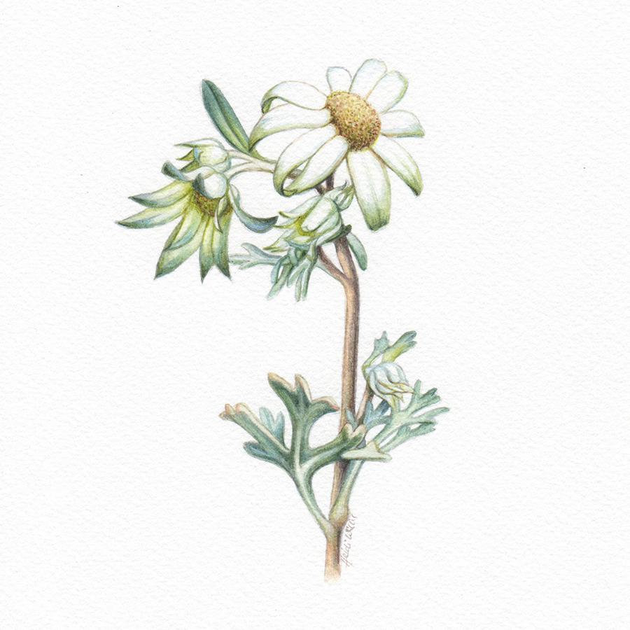 Heidi Willis_Australian flora_watercolour_Flannel flowers