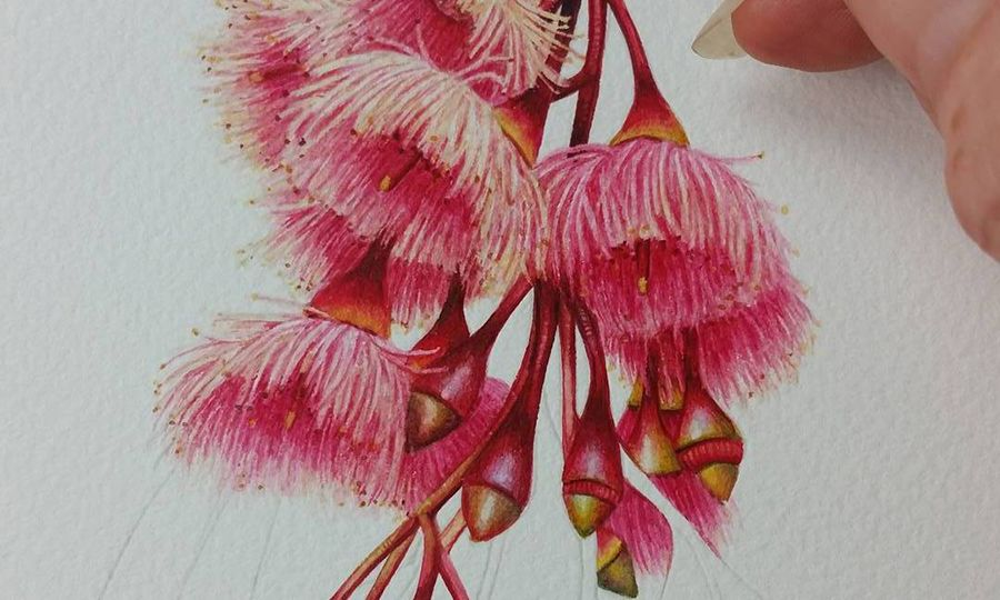 Heidi Willis_Botanical Art_ Illustration_Australian Eucalyptus