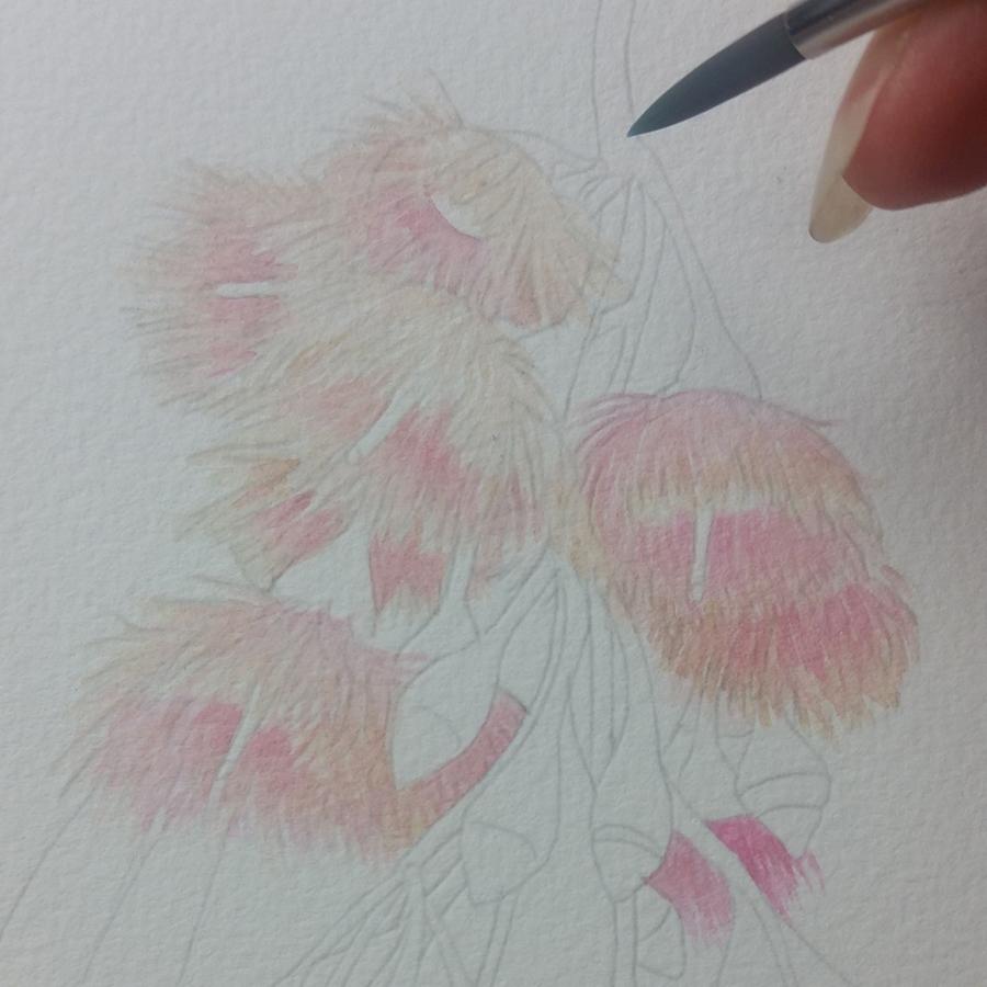 Heidi Willis_Botanical Artist_illustration_Australian Eucalyptus