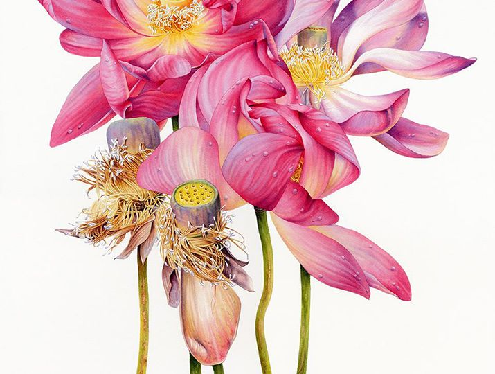 Heidi-Willis_Sacred-Lotus_Waterhouse-Natural-Science-Art-Prize