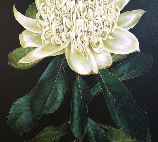 Heidi Willis_White Waratah_botanical illustration_west Hotel