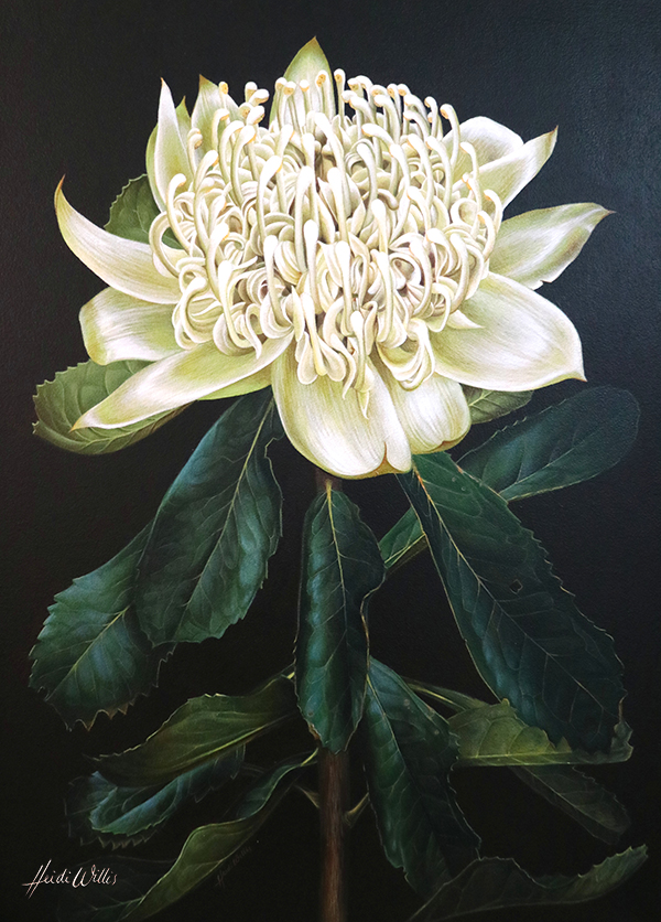 Heidi Willis_White Waratah_botanical illustration_west Hotel