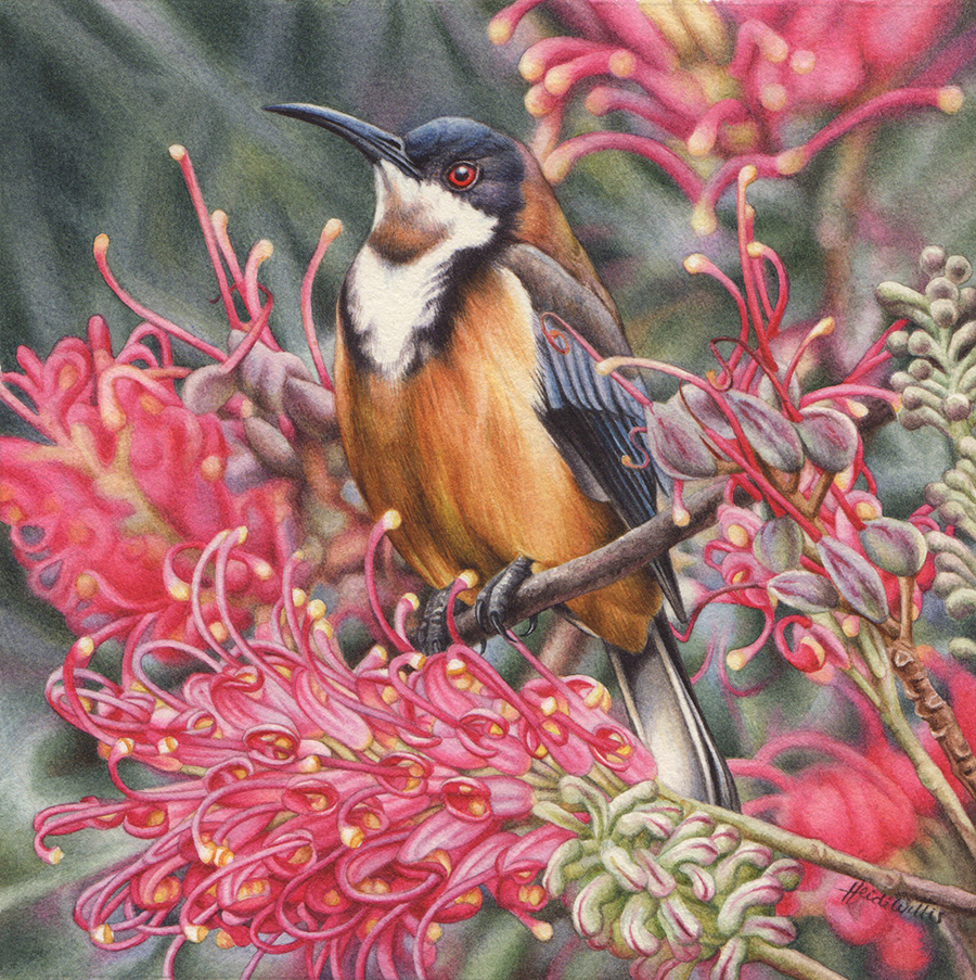 artist_heidi willis_eastern spinebill_bird painting_grevillea_watercolour