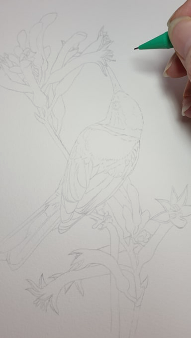 artist_heidi willis_kangaroo paw_eastern spinebill painting_watercolour_bird painting