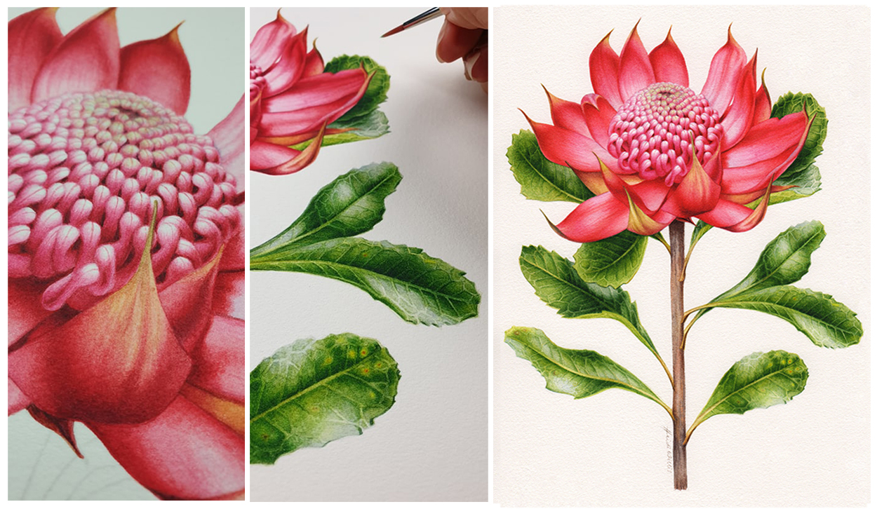 artist_heidi willis_waratah_watercolour botanical illustration_floral emblem