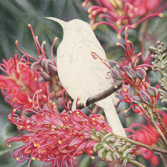 bird Painting_Heidi Willis_watercolour_Eastern Spinebill_Grevillea