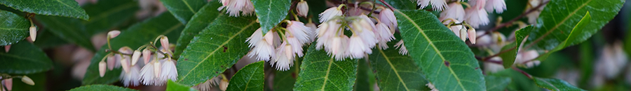 blueberry ash_Botanical