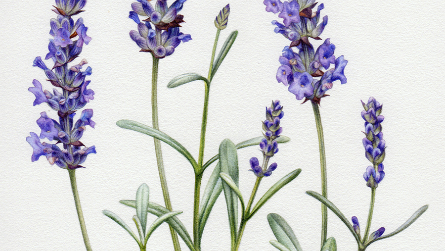 heidi willis_Artist_lavender illustration