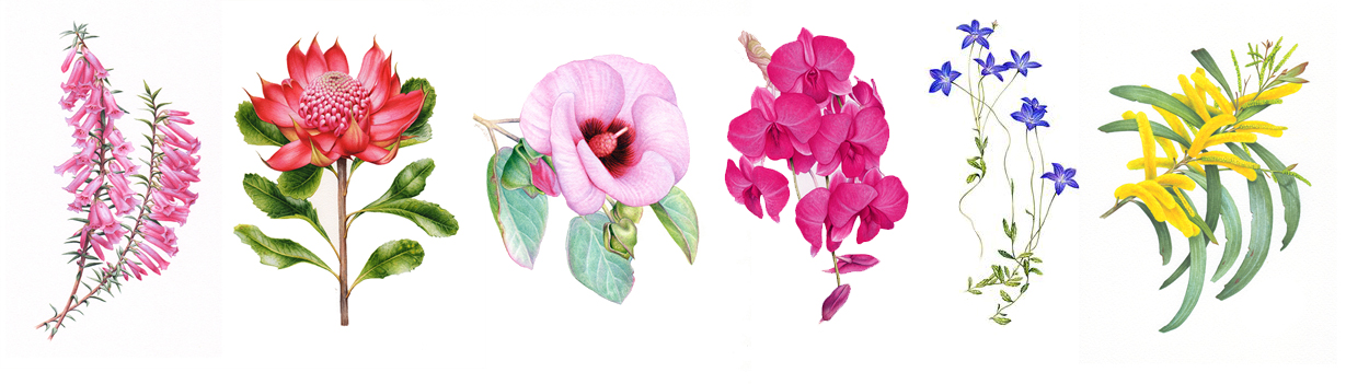 heidi willis_artist_australian floral embblems_botanical illustration