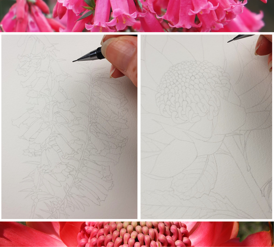 heidi willis_artist_botanical illustration_waratah_heath_state floral emblems