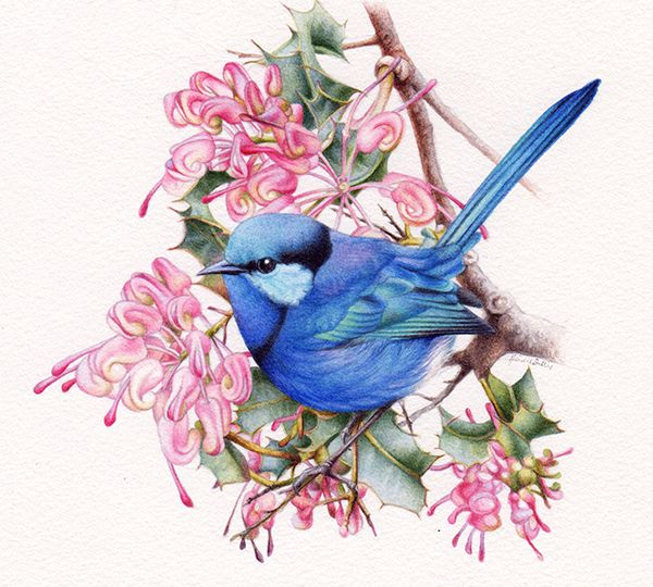 heidi willis_artist_splendid wren painting_bird illustration_watercolour