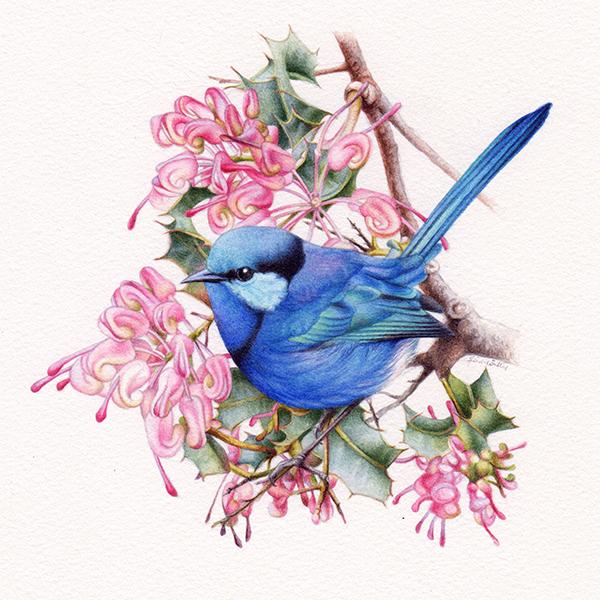 heidi willis_artist_splendid wren painting_bird illustration_watercolour