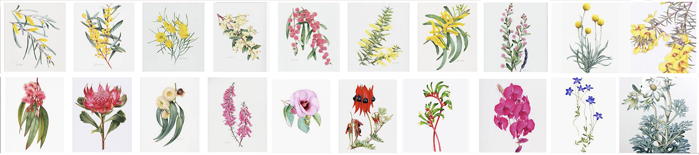 heidi willis_australian native botanical painting_watercolour_artist