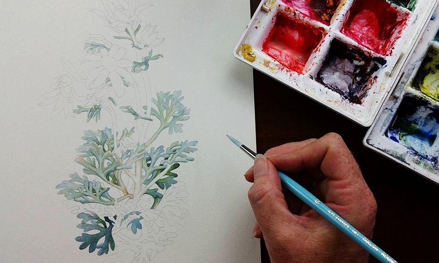 heidi willis_australian wildflower_illustration_flannel flowers