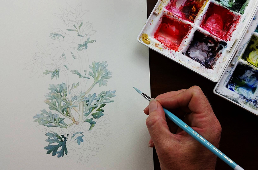 heidi willis_australian wildflower_illustration_flannel flowers