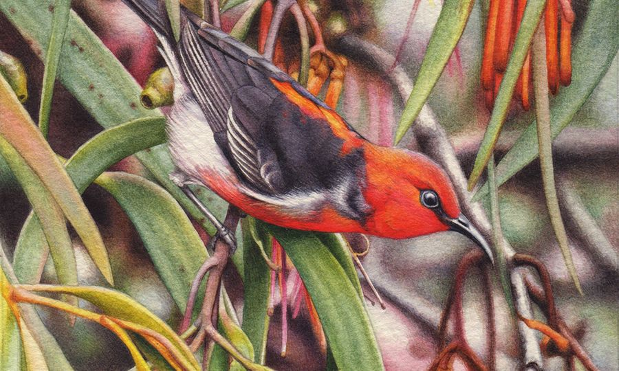 heidi willis_bird artist_scarlet honeyeater painting