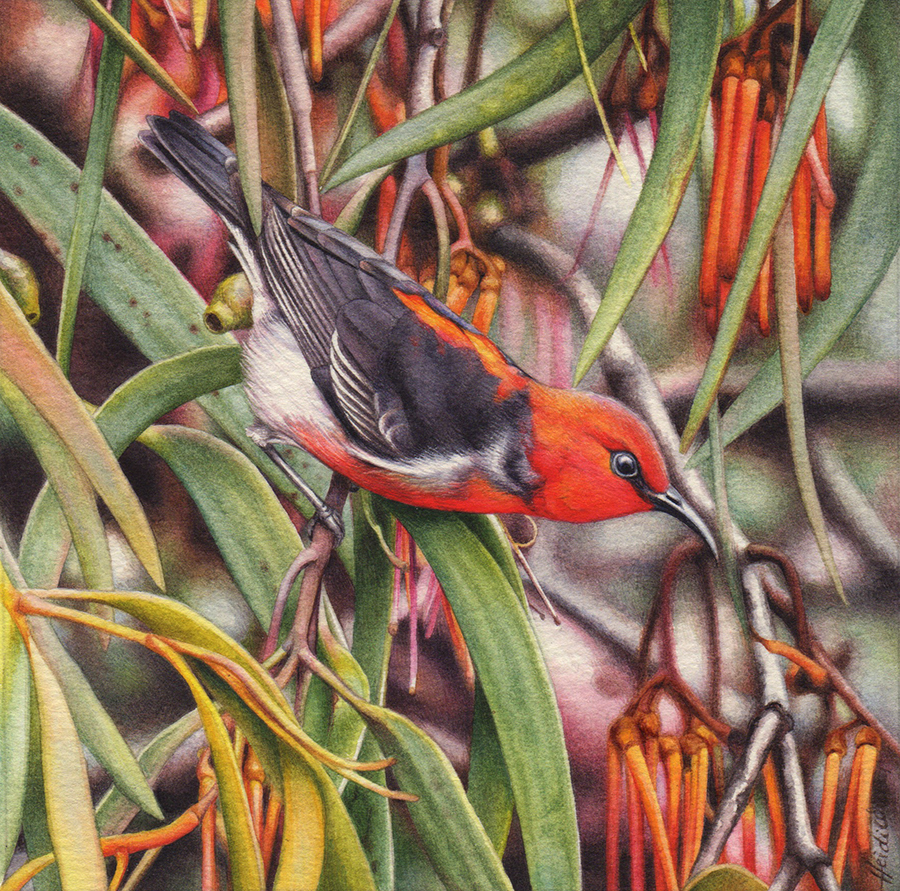 heidi willis_bird artist_scarlet honeyeater painting