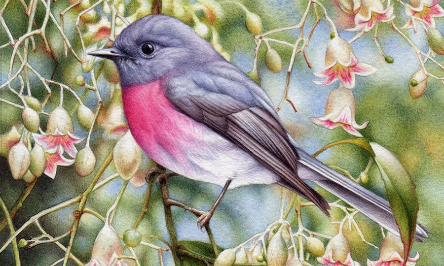 heidi willis_bird painting_artist_rose robin_brachychiton