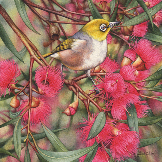 heidi willis_bird painting_artist_watercolour_gum blossom_silvereye