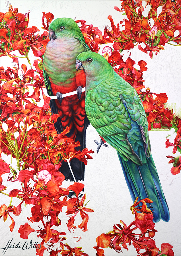 heidi willis_bird painting_king parrot_poinciana