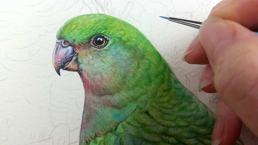 heidi willis_bird painting_king parrot_watercolour_artist