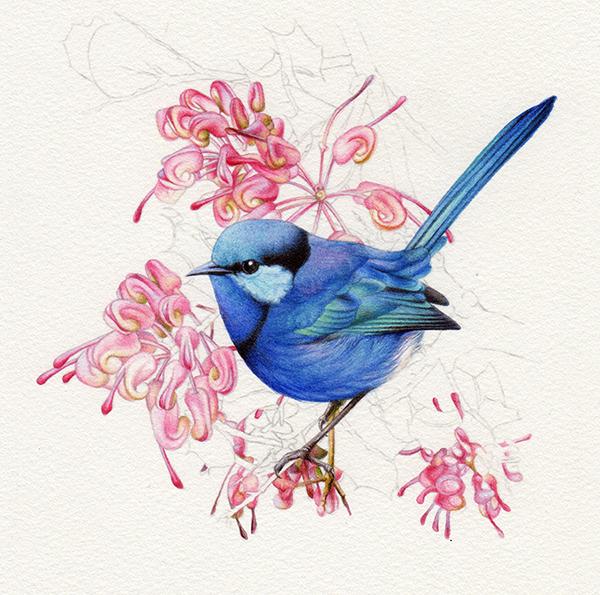 heidi willis_bird painting_splendid wren_watercolour_artist_illustration