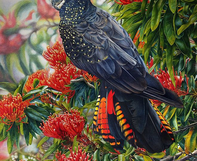 heidi willis_bird painting_watercolour_black cockatoo