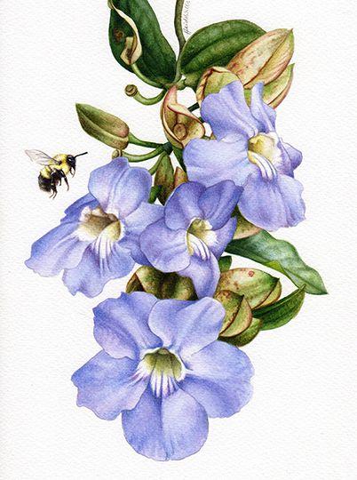 heidi willis_botanical art_thunbergia_watercolour_artist_illustration
