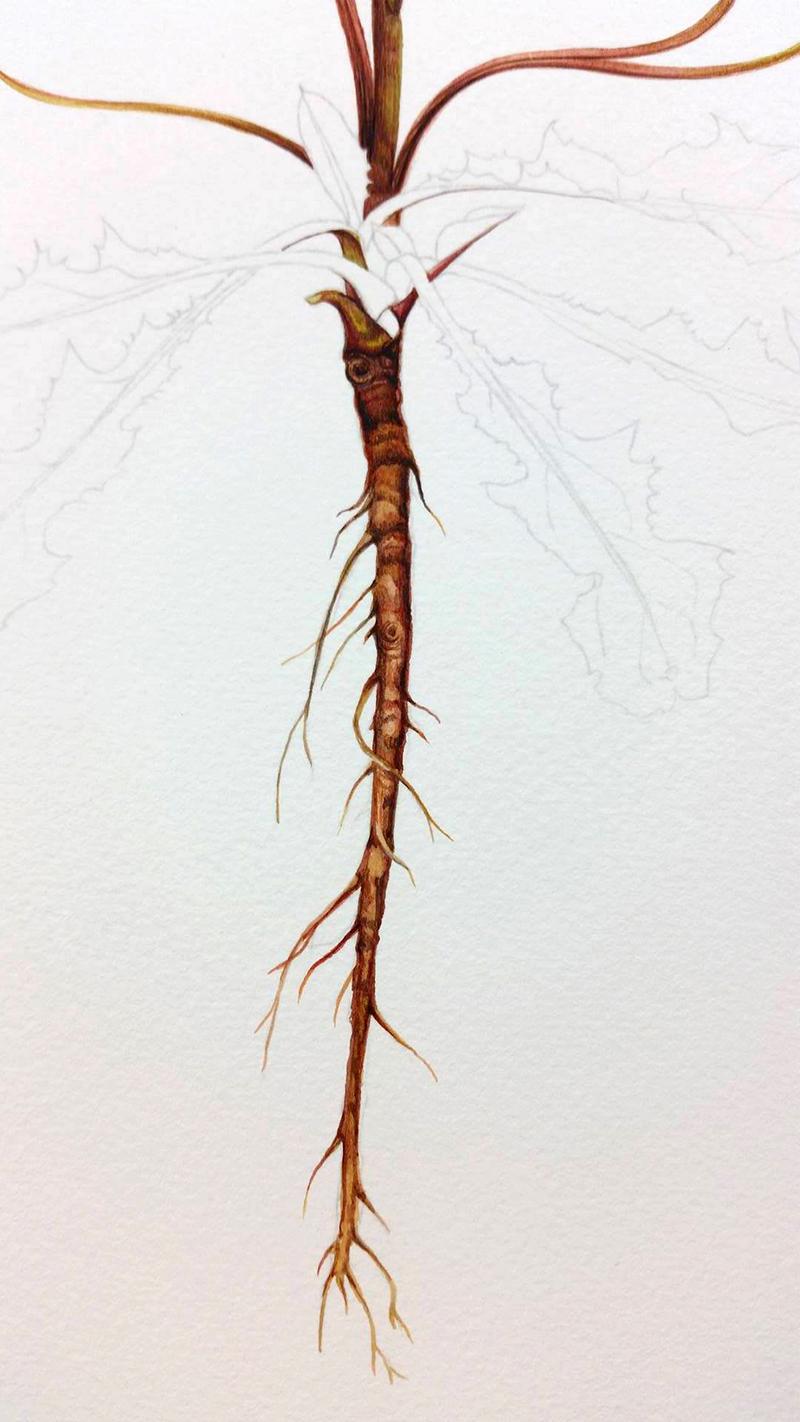 heidi willis_botanical artist_dandelion