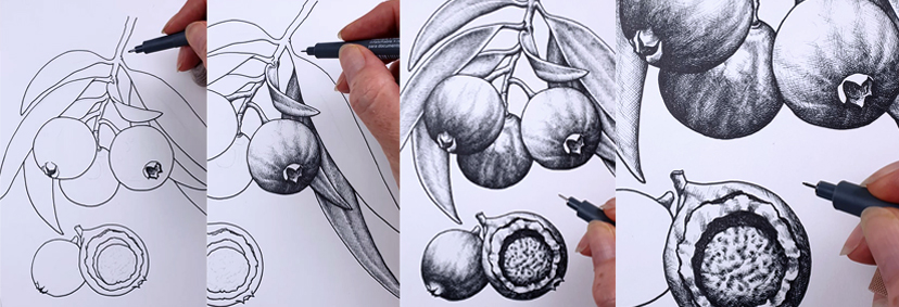 heidi willis_botanical illustrator_australian natives illustrations_quandong