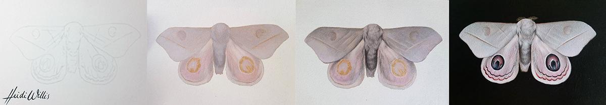 heidi willis_butterfly illustration_natural History_painting_artist