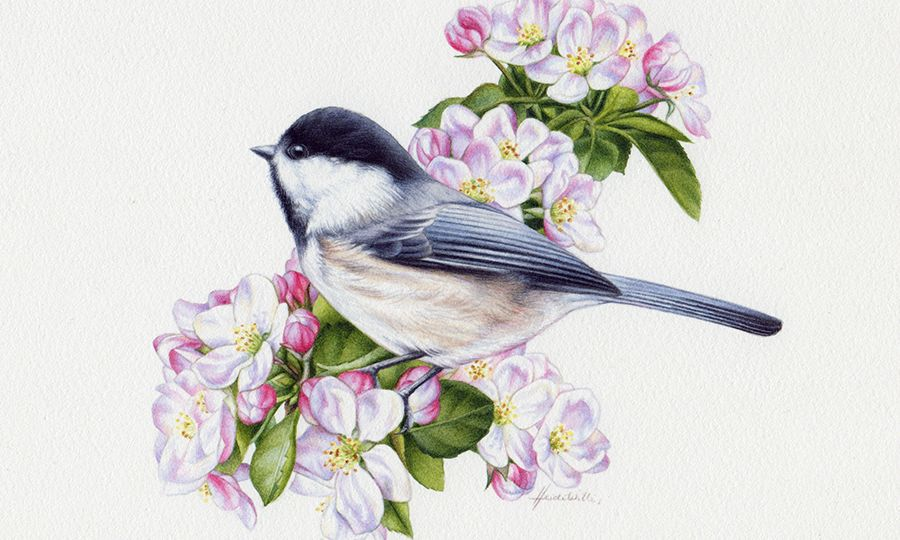 heidi willis_chickadee painting_watercolour_bird illustration