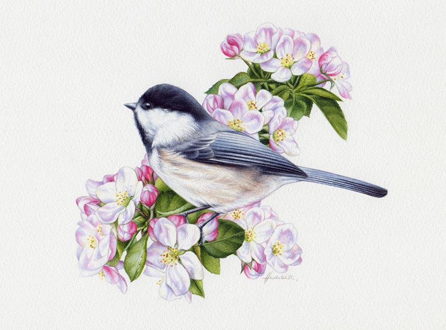 heidi willis_chickadee painting_watercolour_bird illustration