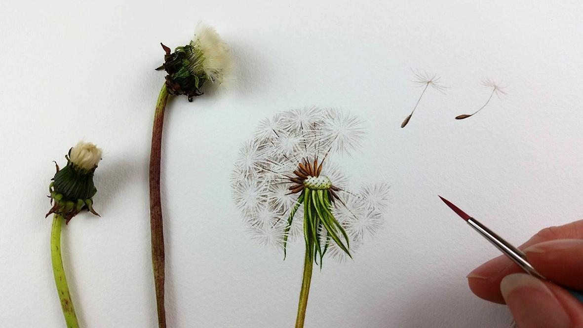 heidi willis_dandelion_botanical illustration