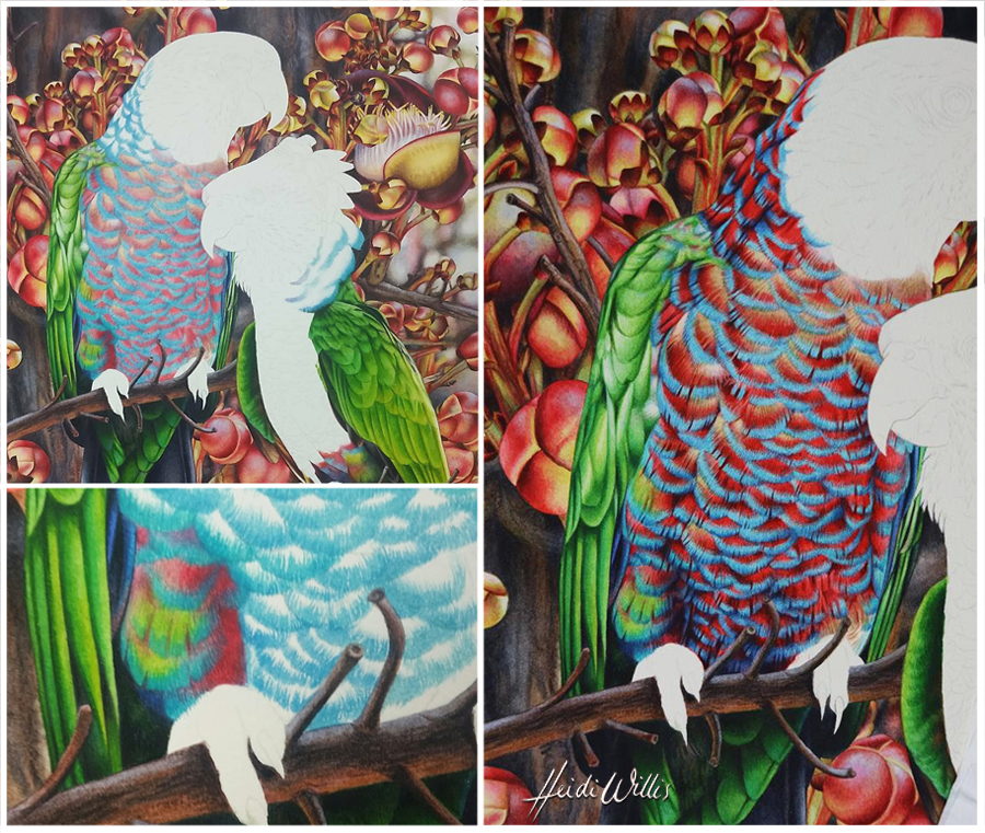 heidi willis_red fan parrot_bird painting_natural history_waterolor