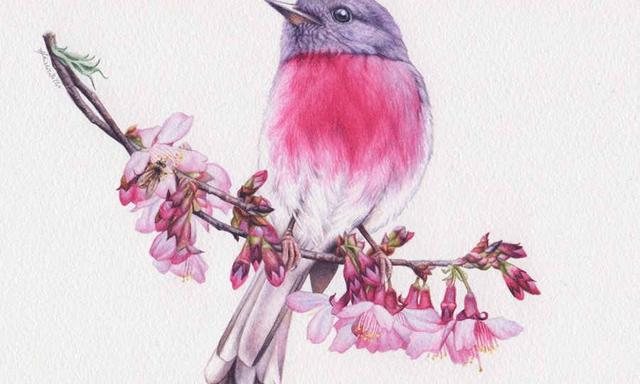 heidi willis_rose robin_blossom_bee_painting_illustration_watercolour