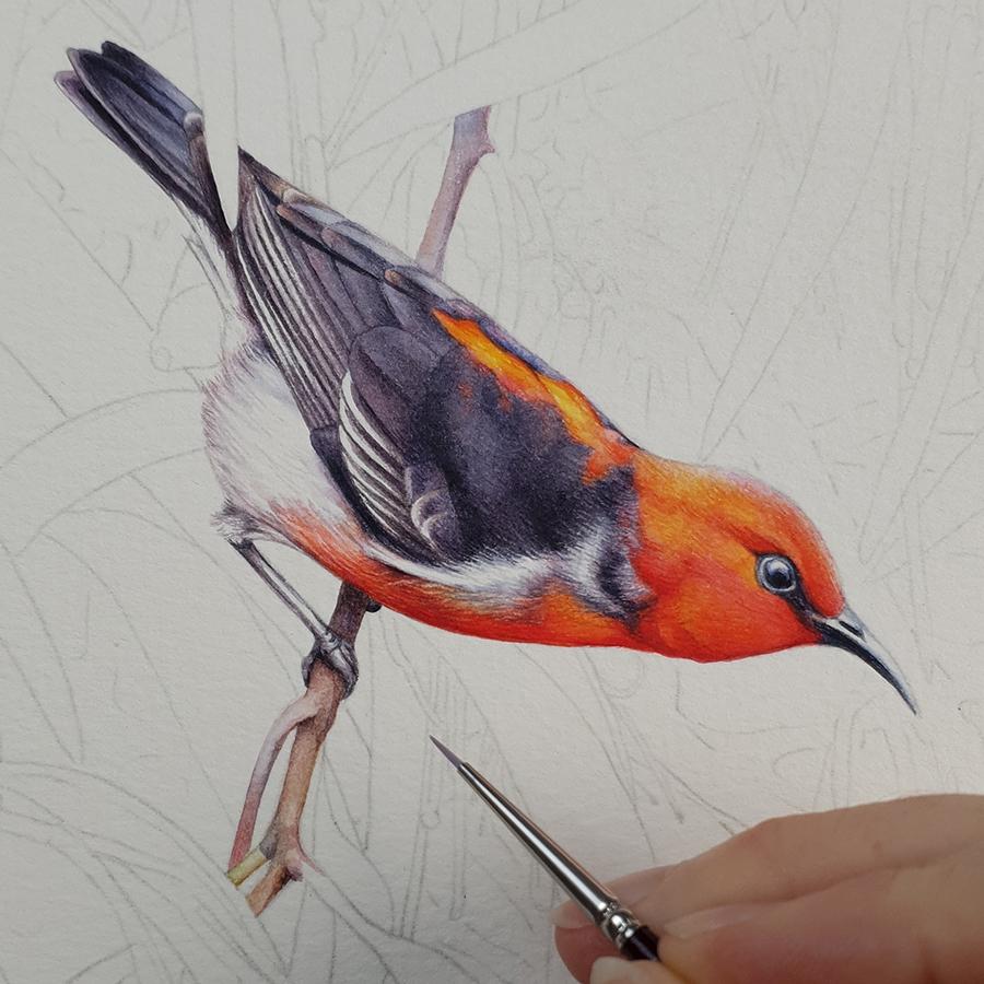 heidi willis_scarlet honeyeater painting_mistletoe_watercolour bird illustration