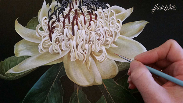 heidi willis_waratah_botanical illustration_west hotel