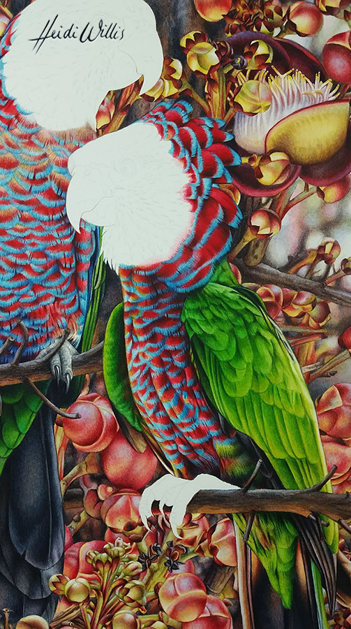 heidi willis_watercolour_natural history_red fan parrot