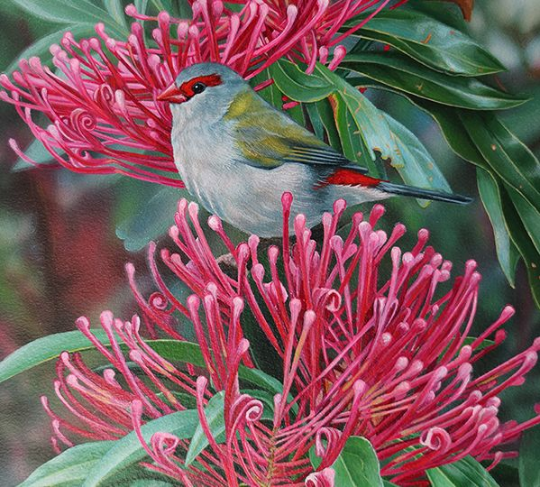 s_Heidi Willis_Red browned Finch_bird painting_waratah