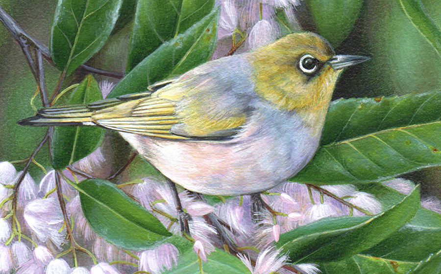 silvereye_bird painting_heidi willis