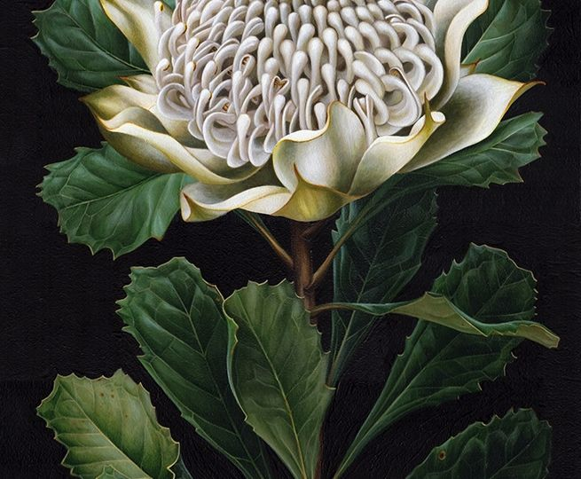 w_artist_White Waratah painting_botanical illustration_Heidi Willis_acrylics