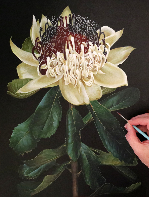 white waratah in progress